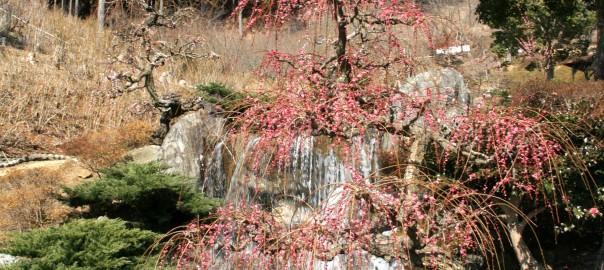 奥山高原 昇竜しだれ梅 写真出典:浜松情報BOOK