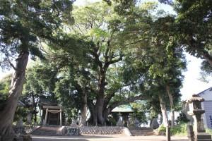 7_八幡神社のオオクス